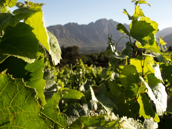 Through the vines at Dieu Donne wine estate. Arguably the best views on offer.